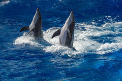 Common dolphin jumping outside the ocean Royalty Free Stock Photo