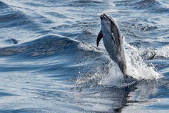 Common dolphin jumping outside the ocean royalty free stock image