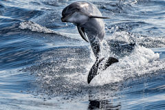 Common dolphin jumping outside the ocean. Tursiop dolphin jumping outside the water stock image