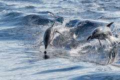 Common dolphin jumping outside the ocean. Common dolphin jumping outside the water royalty free stock images
