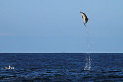 Common Dolphin jumping very high. Common Dolphin jumping in the sea of Costa Rica out of Playa Garza royalty free stock image