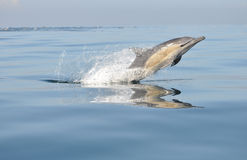 Common Dolphin leaping in south africa stock photo