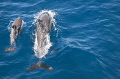 Common Dolphin - Mum & Baby Royalty Free Stock Photo