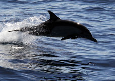 Common Dolphin Near San Diego. A common dolphin splashes through the Pacific Ocean Royalty Free Stock Images