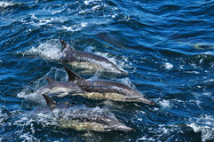 COMMON DOLPHIN NEWBORN. A common dolphin ( delphinus delphis ) new-born baby with it's mother taken while whale watching near Hermanus, South Africa Royalty Free Stock Image