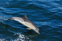 COMMON DOLPHIN Stock Photo