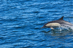 COMMON DOLPHIN. Pics of common dolphin ( delphinus delphis ) taken while whale watching near Hermanus, South Africa Stock Image