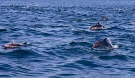 Common Dolphin Pod. A large pod of common dolphins on the open ocean stock images