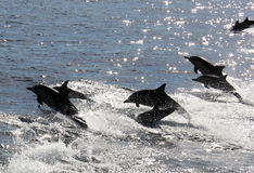 Common Dolphin Racing. A group of Pacific common dolphins splash through the waters off San Diego, California Stock Photo