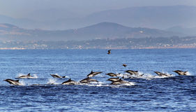 Common Dolphin Stampede Near San Diego Stock Image