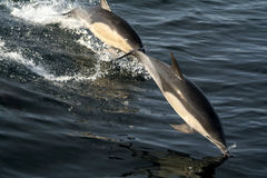 Common dolphins Royalty Free Stock Photography