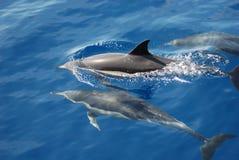 Common dolphins. Three wild common dolphins swim in the mediterranean sea stock photos