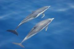 Common dolphins. Two wild common dolphins swim in the mediterranean sea stock photo