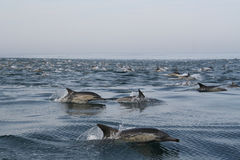 Common Dolphins 2. Common dolphins taken near Hermanus, South Africa Stock Photos