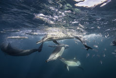 Common Dolphins Feeding Royalty Free Stock Photos