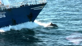 The common dolphins jump with the bow of a trawler stock footage