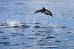 Common dolphins jumping, Costa Rica royalty free stock photography