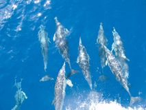 Common Dolphins off Portland, Victoria Stock Photos