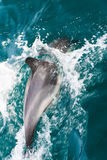 Common Dolphins swimming Stock Images