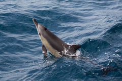Common Dolphins swimming Stock Image