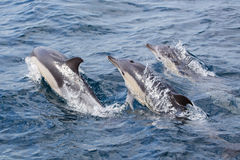 Common Dolphins swimming Royalty Free Stock Photos