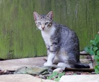 Tabby cat. A common white and gray tiger stripped cat sit around a farmhouse stock photos