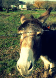 Common donkey Royalty Free Stock Photo