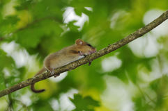 Common Dormouse Stock Photo