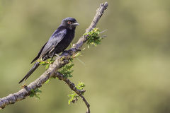 Common Drongo On Acacia. Common Drongo (Dicrurus adsimilis Stock Image