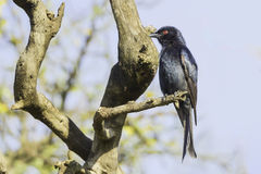 Common Drongo, Forked Tail. Common Drongo (Dicrurus adsimilis Stock Photos