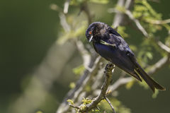 Common Drongo, Scratching. Common Drongo (Dicrurus adsimilis Royalty Free Stock Photos