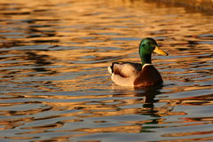 Common duck falling sun reflected on lake. Common duck on lake reflected with falling sun water Royalty Free Stock Image