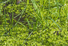 Common duckweed, Lemna minor Stock Photos