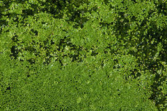 Common duckweed Stock Photography