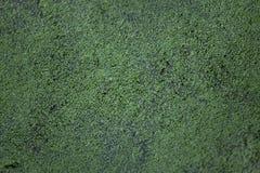 Common duckweed Lemna minor. Stock Image