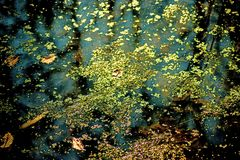 Common duckweed on the surface of a pond. In Germany Stock Photos