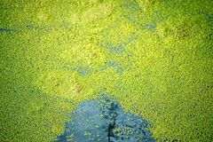 Common duckweed on the surface of a pond. In Germany Stock Images