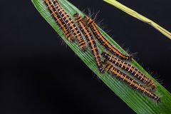 Common Duffer caterpillars Royalty Free Stock Image