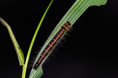 Common Duffer Discophora sondaica caterpillar Royalty Free Stock Images