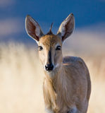 Common Duiker. Portrait of a Common Duiker staring at you Royalty Free Stock Photos