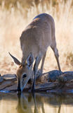 Common Duiker royalty free stock images