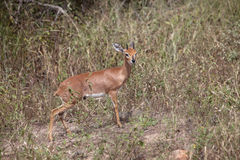 Common Duiker Stock Photo