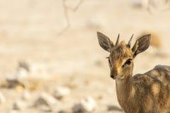 Common duiker, Namibia Stock Image