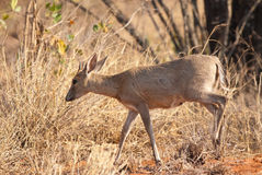 Common Duiker. Small antelope called Duiker South Africa Royalty Free Stock Images
