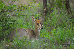 Common duiker, (Sylvicapra grimmia). The common duiker, Sylvicapra grimmia, also known as the grey or bush duiker in Kruger National Park, South Africa Stock Photography