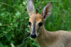 Common duiker, (Sylvicapra grimmia). The common duiker, Sylvicapra grimmia, also known as the grey or bush duiker in Kruger National Park, South Africa Royalty Free Stock Image
