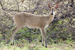 Common duiker, (Sylvicapra grimmia). The common duiker, Sylvicapra grimmia, also known as the grey or bush duiker in Kruger National Park, South Africa Royalty Free Stock Photo