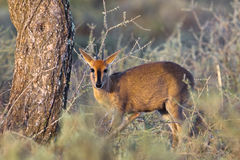 Common Duiker. (Sylvicapra grimmia) stood amongst vegetation in the African bush, South Africa Royalty Free Stock Image