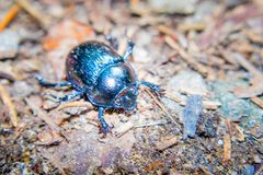 Common dung beetle on a forest floor, Geotrupes stercorarius stock image
