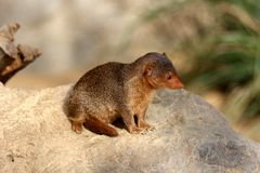 Common dwarf mongoose Stock Images